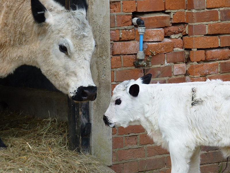 british-white-cow-and-calf-800